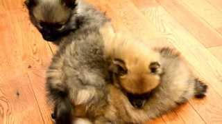 Gambar cover Fur and Paws - Purebred Pomeranians Chocolate, Chip and Cookie