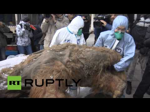 RAW: Best-preserved mammoth ever found goes on display in Moscow