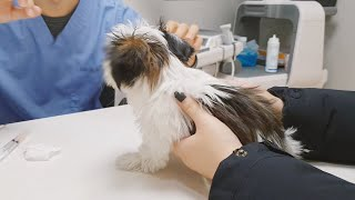 주사 맞고 대성통곡하는 강아지 ㅋㅋㅋ (동물병원 / 예…