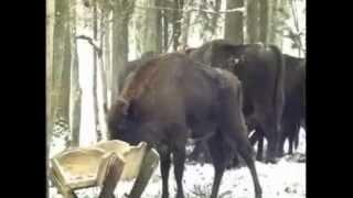 Żubry w Puszczy Boreckiej