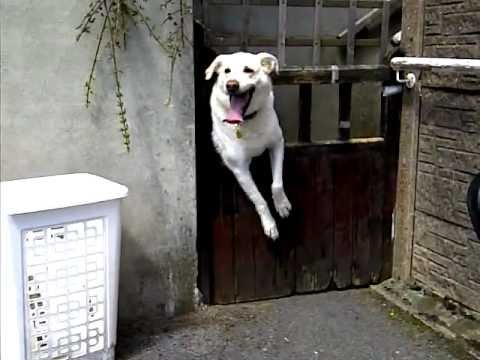 Funny Stupid Dog Stuck In Gate Youtube