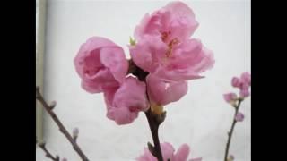 子供の歌シリーズ(日本語歌詞)Japanese songs for children 春よ来い ...
