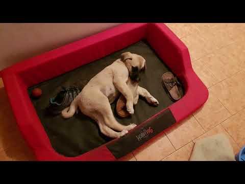 Kangal dog 1 to 4 months