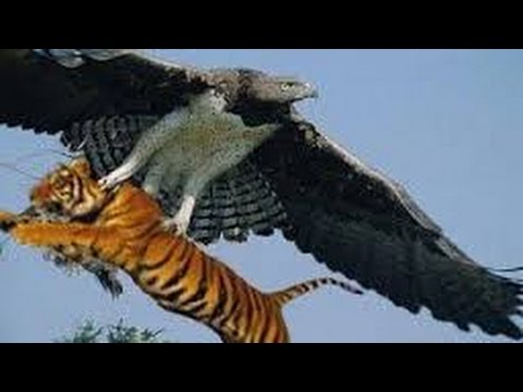 Most Amazing Wild Animals Attacks Eagle Attack Leopard vs ...