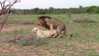 Trilogy male lion mates with white lioness in Timbavati