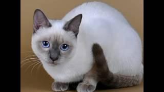 Сиамские кошки!:) О уходе, характере можете узнать в описании!:))