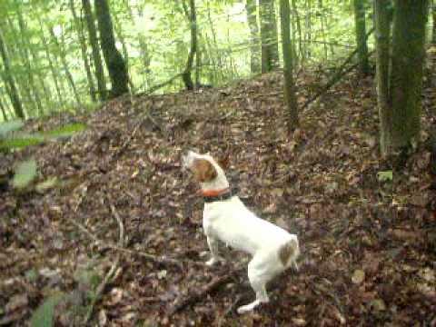 Mountain Feist Treeing A Squirrel Youtube