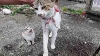 空地で見掛けた子猫をナデナデしてたら近所の大人猫がモフられに割り込んできた