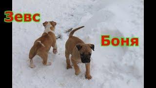 сколько весит Бойцовый 2-х месячный щенок Ам. стафф Боня и Зевс???  разрывают интернет 2019