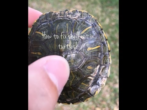 How to fix shell rot, injuries, and fungal infections in Turtles
