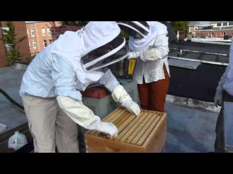 Download Federal Capital Bees (FCB)  II