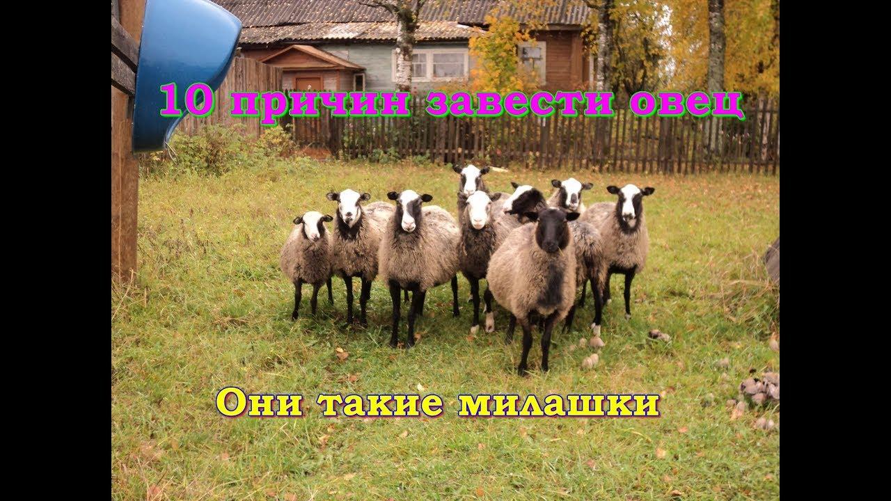 10 причин, чтобы завести овец или почему я люблю романовских овец