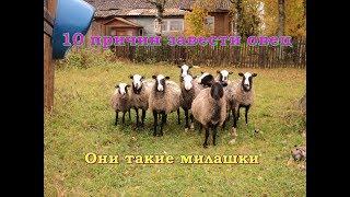 видео: 10 причин, чтобы завести овец или почему я люблю романовских овец