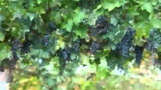Growing Grape | how to grow grapes