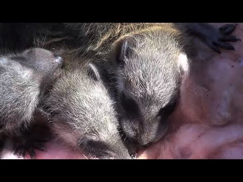 Dramatic Story of Reuniting a Mother Raccoon with her Babies