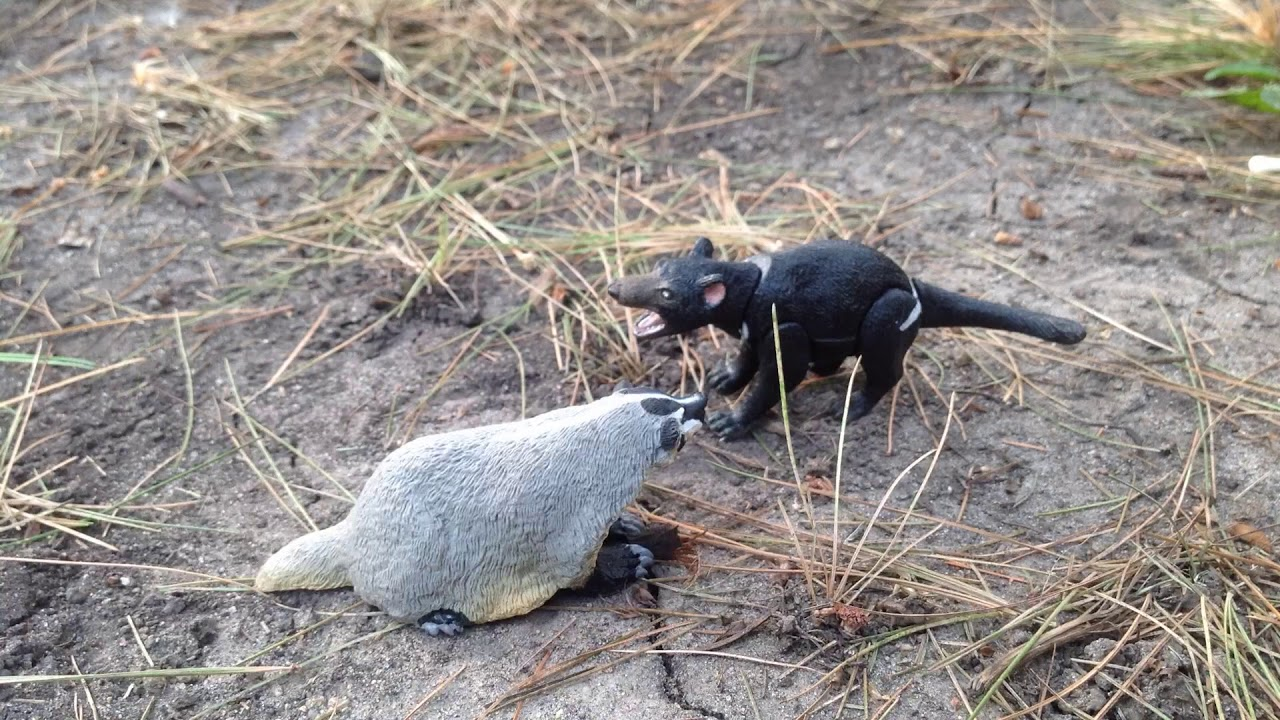 tasmanian devil vs american badger youtube