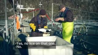 Marine Harvest Норвегия - наши люди и наш лосось