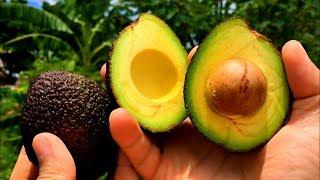 วิธีปลูกอะโวคาโด / How to Grow an Avocado Tree / 如何种植鳄梨