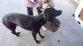 Камыши-Новус-найдена дом. собака-перелом бедра.