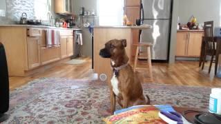 Pitbull/boxer Mix Howling