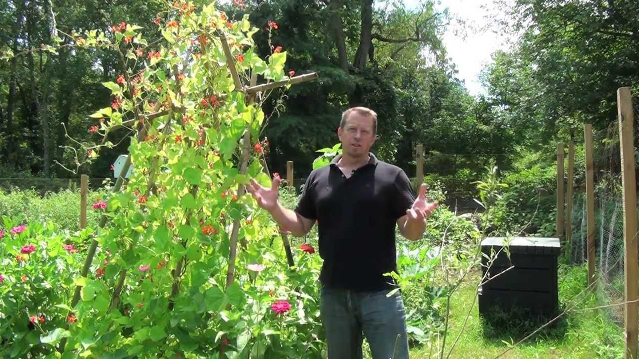 Scarlet Runner Beans  Organic Gardening  YouTube