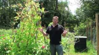 Scarlet Runner Beans - Organic Gardening