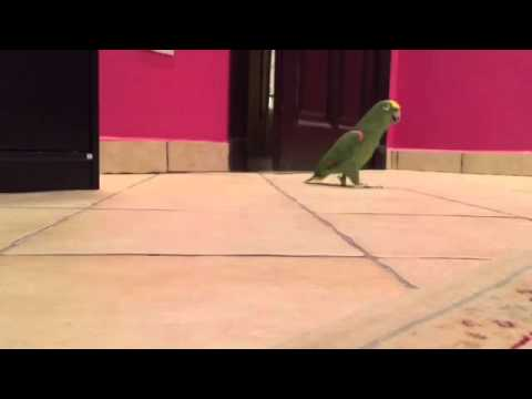 Bird playing hide & seek laughs manically after finding owner!