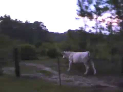 Парень бежит от коровы - испугался