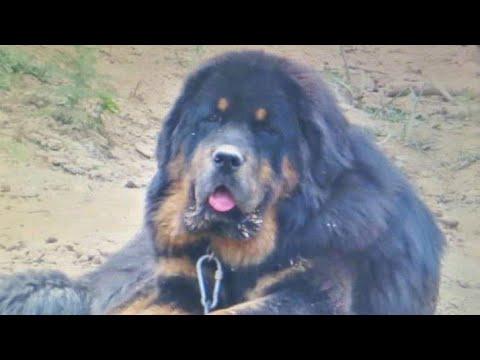 "Working Line Tibetan Mastiff's ""The Giant Guard Dogs"""