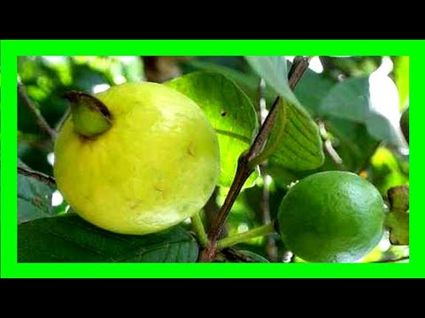 How To Grow Guava In Container