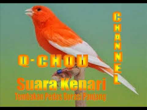 Download Lagu Suara Kenari Tembakan Pedas Durasi Panjang