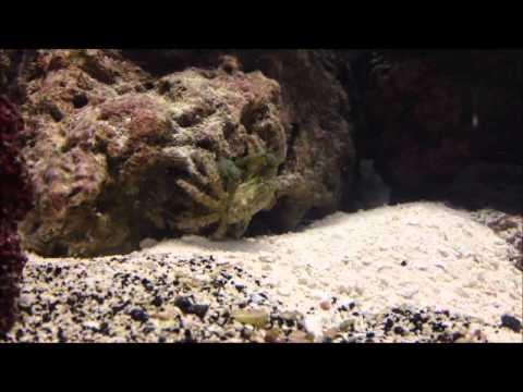 Tiger Pistol Shrimp vs. Emerald Crab