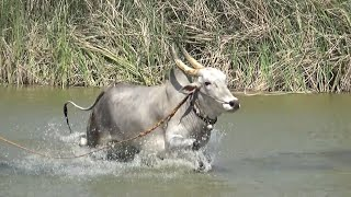 Senior Jallikattu bull swimming ! Valmiki Naidu ! Bail pola