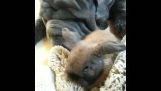 Mastiff Eats Bunny Rabbit