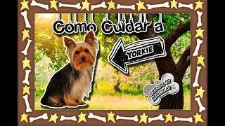 Yorkshire terrier Redes sociales: https://www.facebook.com/Lanfranc...