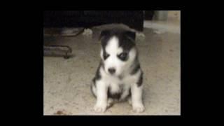 Chiot husky sibérien à 3 semaines/Siberian husky puppy 3 weeks