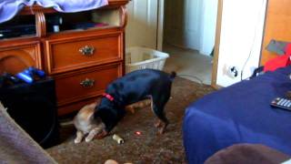 Miniature Pinscher And Cat Chasing Laser Pointer