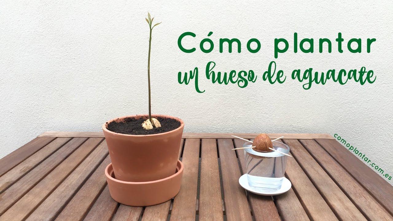 C mo plantar un hueso de aguacate youtube for Como cultivar aguacate