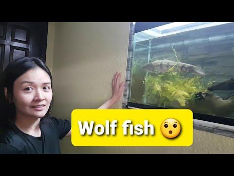 Meet My Pets 🤗wolf Fish|hopliasmalabaricus Wolf Fish| Peacock Bass|oscar|arowana|jaguar|spotted Gar