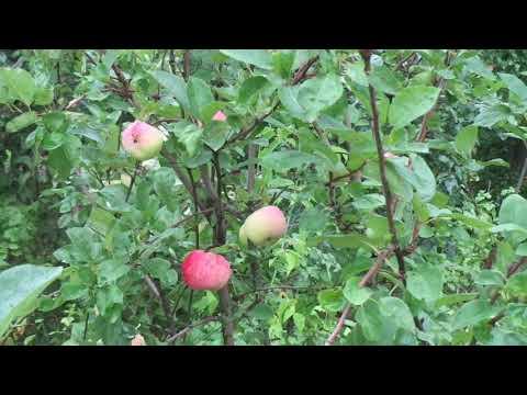 """Как возродить наши сады. Ранняя яблоня """"Мельба""""."""
