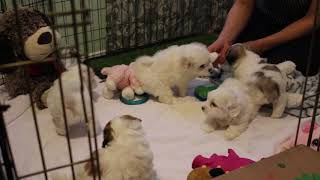 Coton Puppies For Sale 2/11/20
