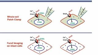Complex role of STIM1 in the activation of store-independent Orai1/3 channels-Zhang et al.