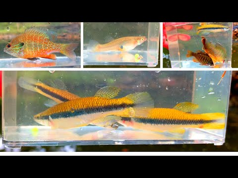 Microfishing Native Species For Observation Container - Blackstripe Topminnow