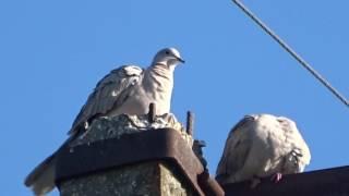 Крымские дикие голуби на столбе
