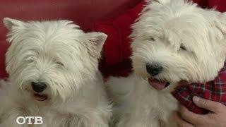 Знакомство с питомцами: вест-хайленд-уайт-терьер — собака Астерикса (28.12.15)