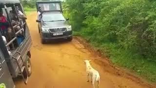 wolf vs pitbull