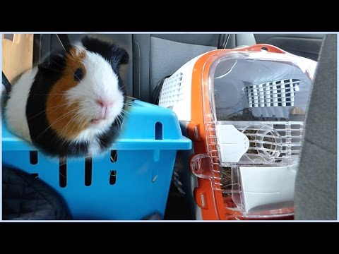 Wheek-ly Vlog 58: Traveling with Guinea Pigs