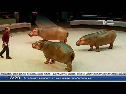 Пируэты от бегемотов
