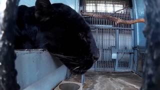Черная пантера лежит на верхней полке вольера в зоопарке