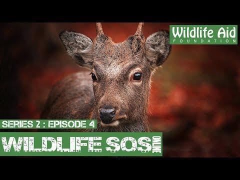 Deer Hurdles 6ft Net!: Wildlife SOS Online S2  Episode 4